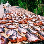 Pesce da essiccare, Battambang Drying fish, Battambang