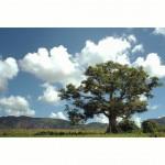 Cuba, #Vinales *latergram 2013* #cuba #nikon #d80 #beautifultree #beautiful_landscape #alberi