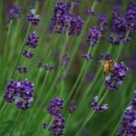 Ape sulla lavanda Bee on Lavender *latergram* #furano #hokkaido #japan