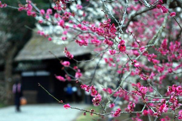 Prugni in fiore al Kairakuen di Mito