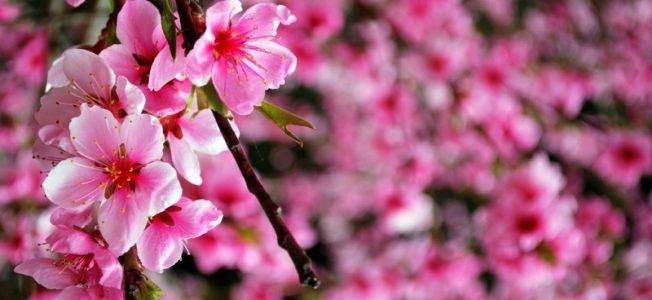 Ciliegi in fiore in primavera in Giappone (foto di Patrick Colgan, 2014)