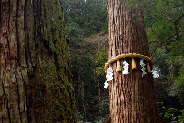 Albero con una fune shimenawa sul Monte Kurama
