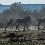 Vedere gli animali nell'Etosha: zebre